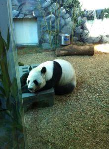 Zoo Atlanta-Panada