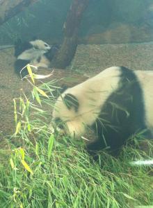 Zoo Atlanta-Panda 2